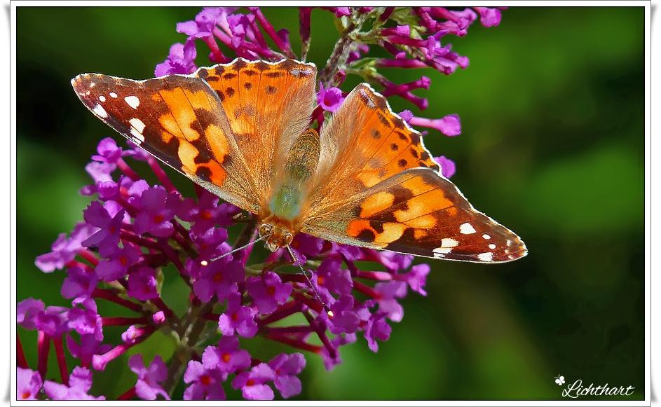 Distel-Vlinder