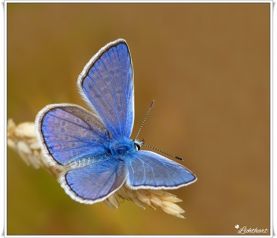 Icarus-Blauwtje