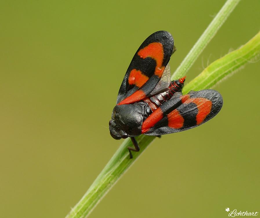 Bloed-Cicade